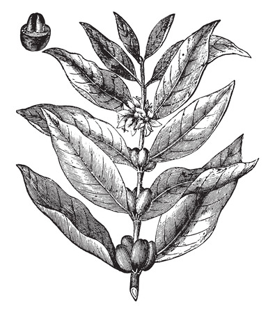 Coffee branch, vintage engraved illustration. La Vie dans la nature, 1890.