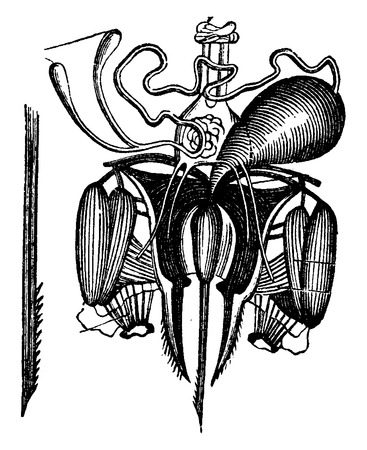 Sting of the bee, with its venom glands dissected, vintage engraved illustration. La Vie dans la nature, 1890.