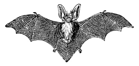 Grey long-eared bat, vintage engraved illustration. Natural History of Animals, 1880.