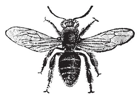Foto de Worker bee, vintage engraved illustration. Natural History of Animals, 1880. - Imagen libre de derechos