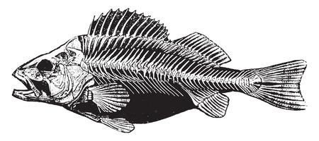Fish skeleton, vintage engraved illustration. Natural History of Animals, 1880.