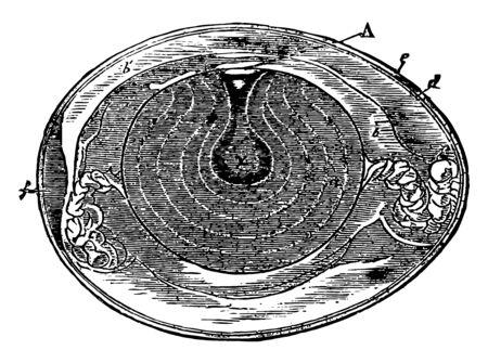 Hen Egg nat size in section from Owen vintage line drawing or engraving illustration.