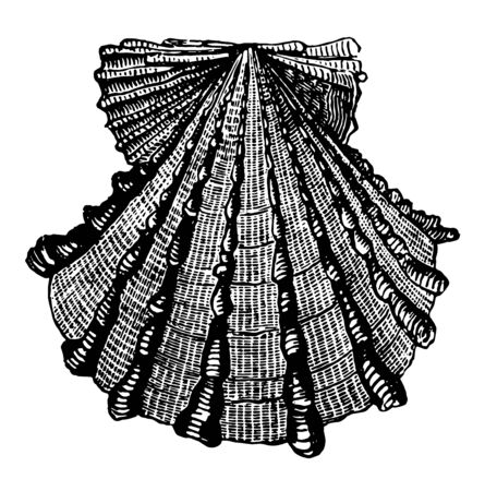 Pecten Foliaceus have colors that are frequently lively and brilliant vintage line drawing or engraving illustration.