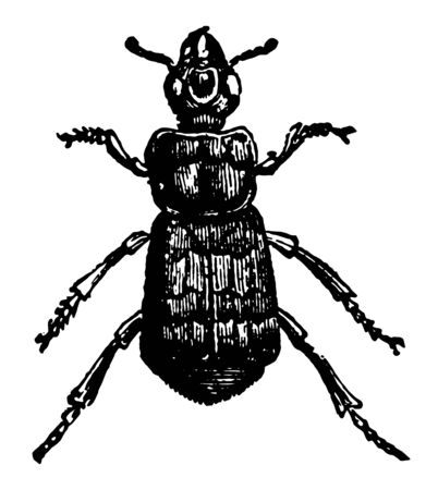 Illustration pour Necrophorus Vespillo which is of interest because in North America vintage line drawing or engraving illustration. - image libre de droit