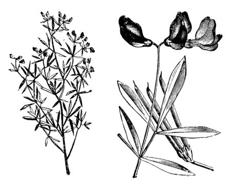 Vektor für This is an image of Lotus Jacobaeus with dark purple, almost black colored flowers. Its leaves are small, vintage line drawing or engraving illustration. - Lizenzfreies Bild