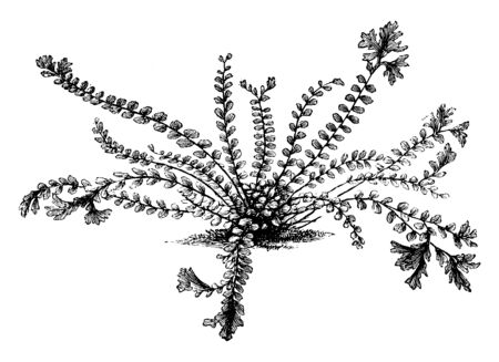 Vektor für A picture showing Asplenium trichomanes cristatum. This is the crested maidenhair spleenwort. The black stems and forked, crested tips give this fern an almost sea-creature look, vintage line drawing or engraving illustration. - Lizenzfreies Bild