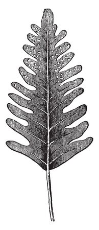 This is Fern Leaf. The green, photosynthetic part of the plant is technically a megaphyll and in ferns, it is often referred to as a frond. At Upper leaves have spores, vintage line drawing or engraving illustration.