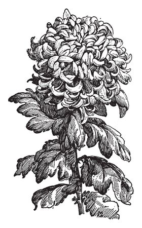 Illustration pour A new type of Chrysanthemum plant. It is important as sources of medicinal and insecticides, vintage line drawing or engraving illustration. - image libre de droit