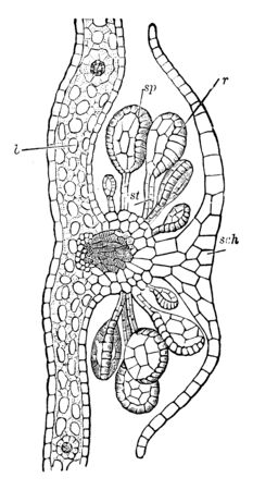 The Section of a Nephrolepis shows the different part of this plant. Part b shows mesophyll, sch shows indusium, sp shows sporangium, st shows its stalk, r shows annulus, vintage line drawing or engraving illustration.