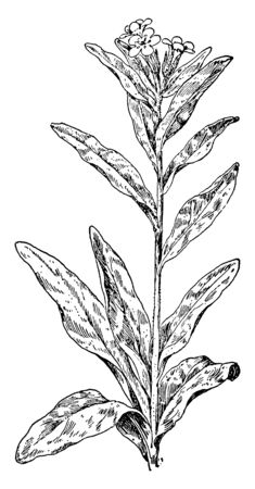 Hoary Puccoon is a flower plant. His flowers are Yellow. The leaves and stem are hairy, vintage line drawing or engraving illustration.