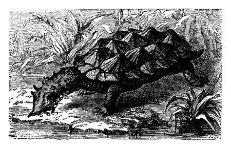 Bearded Tortoise lives in stagnant water and is altogether remarkable for its singular appearance, vintage line drawing or engraving illustration.