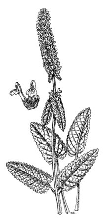 Vektor für Stachys officinalis is a perennial grassland herb. Its leaves are stalked on upright stems, narrowly oval, with a heart-shaped base. Its upper lip flat, almost straight when seen from the side, vintage line drawing or engraving illustration. - Lizenzfreies Bild
