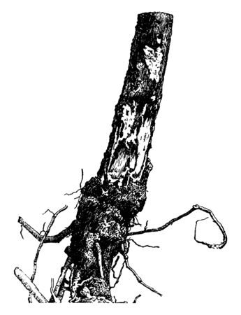 Ilustración de This is the trunk of the White Pine tree which is affected by Armillaria Mellea disease. Root comes out from the soil due to poor planting. Tree is surrounded by fungi, vintage line drawing or engraving illustration. - Imagen libre de derechos