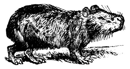 Illustration pour Capybara is the largest member of the rodent family, vintage line drawing or engraving illustration. - image libre de droit