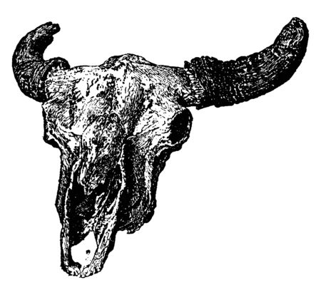 Buffalo is a North American species of bison that once roamed the grasslands of North America in massive herds, vintage line drawing or engraving illustration.