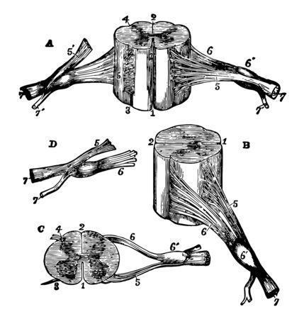 Illustration pour Views of section of cervical cord, vintage line drawing or engraving illustration. - image libre de droit