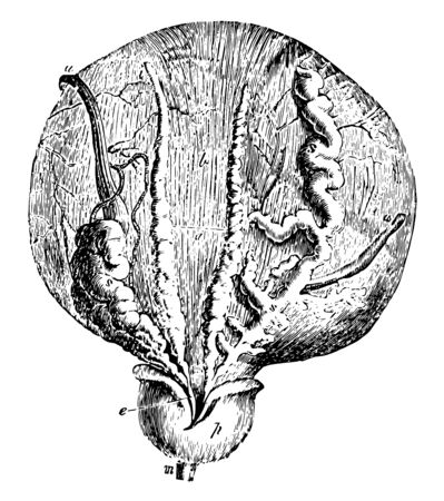 Photo pour This illustration represents Bladder and Prostate Gland, vintage line drawing or engraving illustration. - image libre de droit