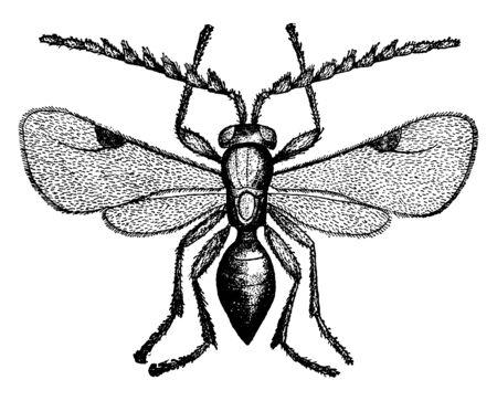 Photo pour Wheat Louse which is a Ceraphron triticum, vintage line drawing or engraving illustration. - image libre de droit