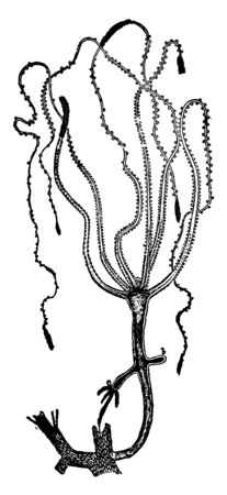 Hydrozoon is a name given to the great class of the sub kingdom Clenterata, vintage line drawing or engraving illustration.