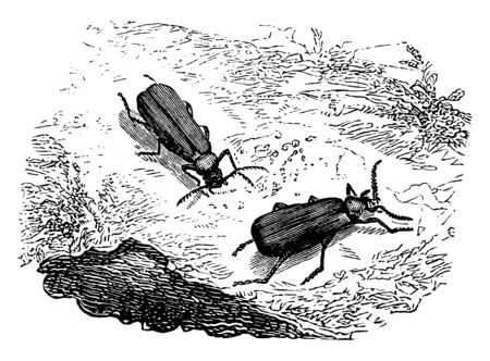 Cardinal Beetle which is found about hedge banks, vintage line drawing or engraving illustration.