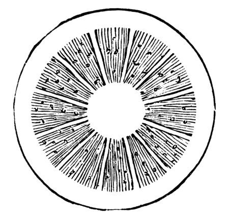 A Diagram Showing Cross Section Of Stem Showing Multiple