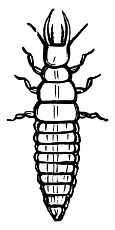 Larva is the second stage of the lace wing fly, vintage line drawing or engraving illustration.