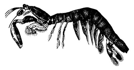Squilla is frequently called the Sea Mantis, vintage line drawing or engraving illustration.
