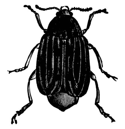 Bean Weevil which is bruchus fabae species, vintage line drawing or engraving illustration.