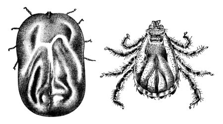 Cattle Tick is an economically important tick, vintage line drawing or engraving illustration.