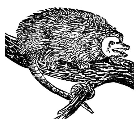 Illustration pour Opossum is a marsupial of the order Didelphimorphia endemic to the Americas, vintage line drawing or engraving illustration. - image libre de droit