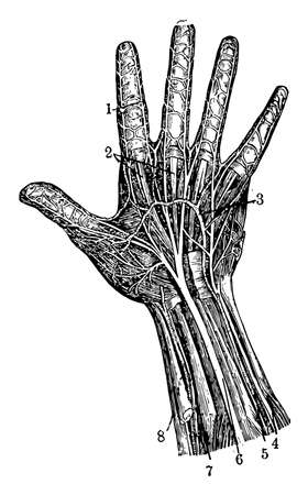 Illustration pour Arteries of the palm of the hand and Elbow nerve, vintage line drawing or engraving illustration. - image libre de droit
