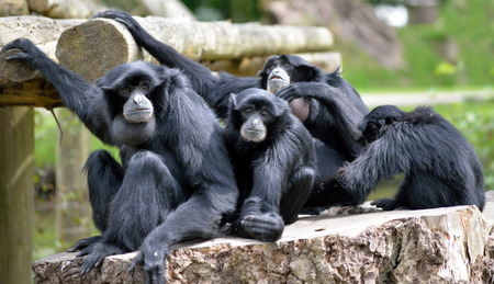 Siamang Gibbon family relaxing in fota wildlife park near cobh county cork ireland