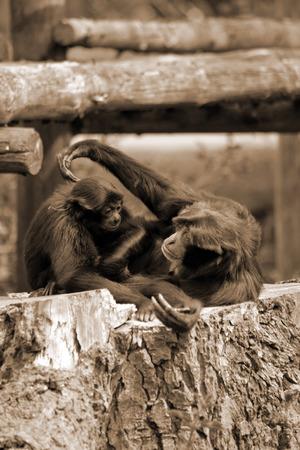 gibbons playing in fota wildlife park near cobh county cork ireland