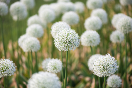 beautiful meadow with flowers of white Allium