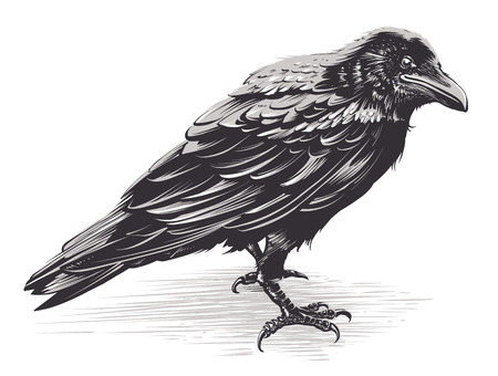 Illustration pour Vector crow isolated on white. Hand drawn vector art. Sketch vector illustration. - image libre de droit