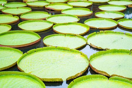 Photo pour green victoria waterlily big lotus in canal, plant - image libre de droit