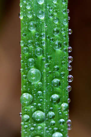 Photo pour A macro portrait of water droplets in different sizes on a blade of grass. It looks like a traffic jam in nature. - image libre de droit