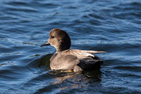Gadwall Duck swims across the unsteady water surface of the estuary pond while fishing for food to eat.