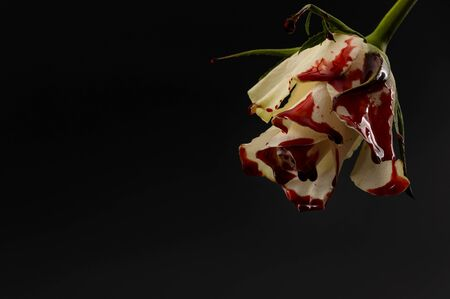 Photo for Hopelessness,Innocence lost through tragedy, grief and mourning of a early loss conceptual idea with bleeding white rose with drops of blood dripping isolated on black background with copy space - Royalty Free Image