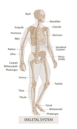 Illustration pour Human body parts. Man skeletal anatomy. Hand drown vector sketch illustration isolated - image libre de droit