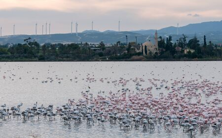 Photo pour Group of wild Flamingo Birds resting and feeding  at the salt lake in front of the famous Hala sultan Tekke Muslim shrine mosque  at Larnaca city in Cyprus - image libre de droit