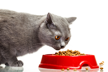 Gray cat eating from the bowl isolated on white background
