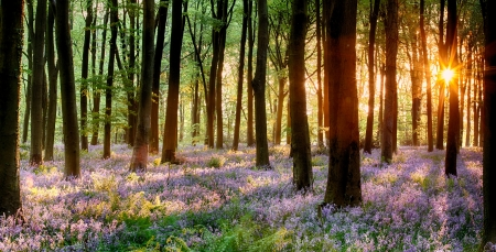 Bluebell woods in early morning sunrise