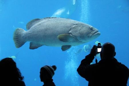 Large fish swimming in a tank at the Georgia Aquarium