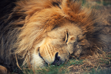Photo pour Lion was lying on the ground. - image libre de droit