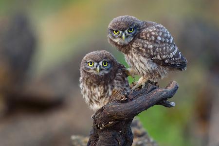 Photo pour Two young little owls sit on a stick and look forward. - image libre de droit