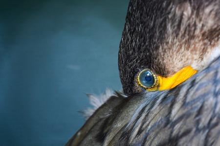 Eye of Great Cormorant (Phalacrocorax carbo). Close up.