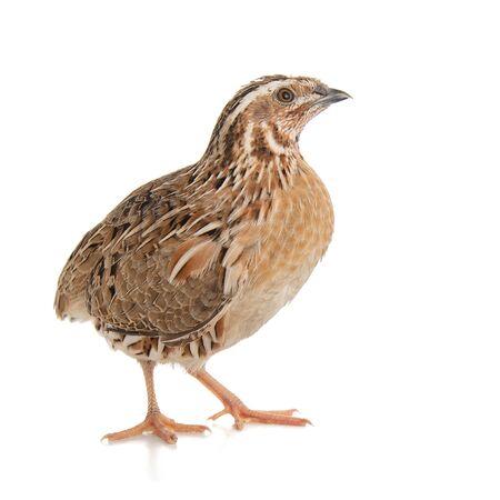 Photo pour Wild quail, Coturnix coturnix, isolated on a white background. - image libre de droit