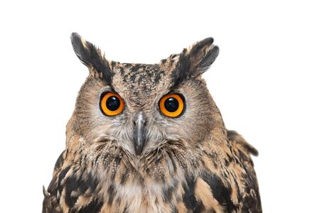 Photo pour Portrait of the Eurasian Eagle Owl, bubo bubo. CLose up. Isolated on white background - image libre de droit