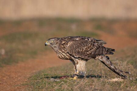 Photo pour Falconry. Close-up portrait of a hawk with a telemetry transmitter. Accipiter gentilis. - image libre de droit